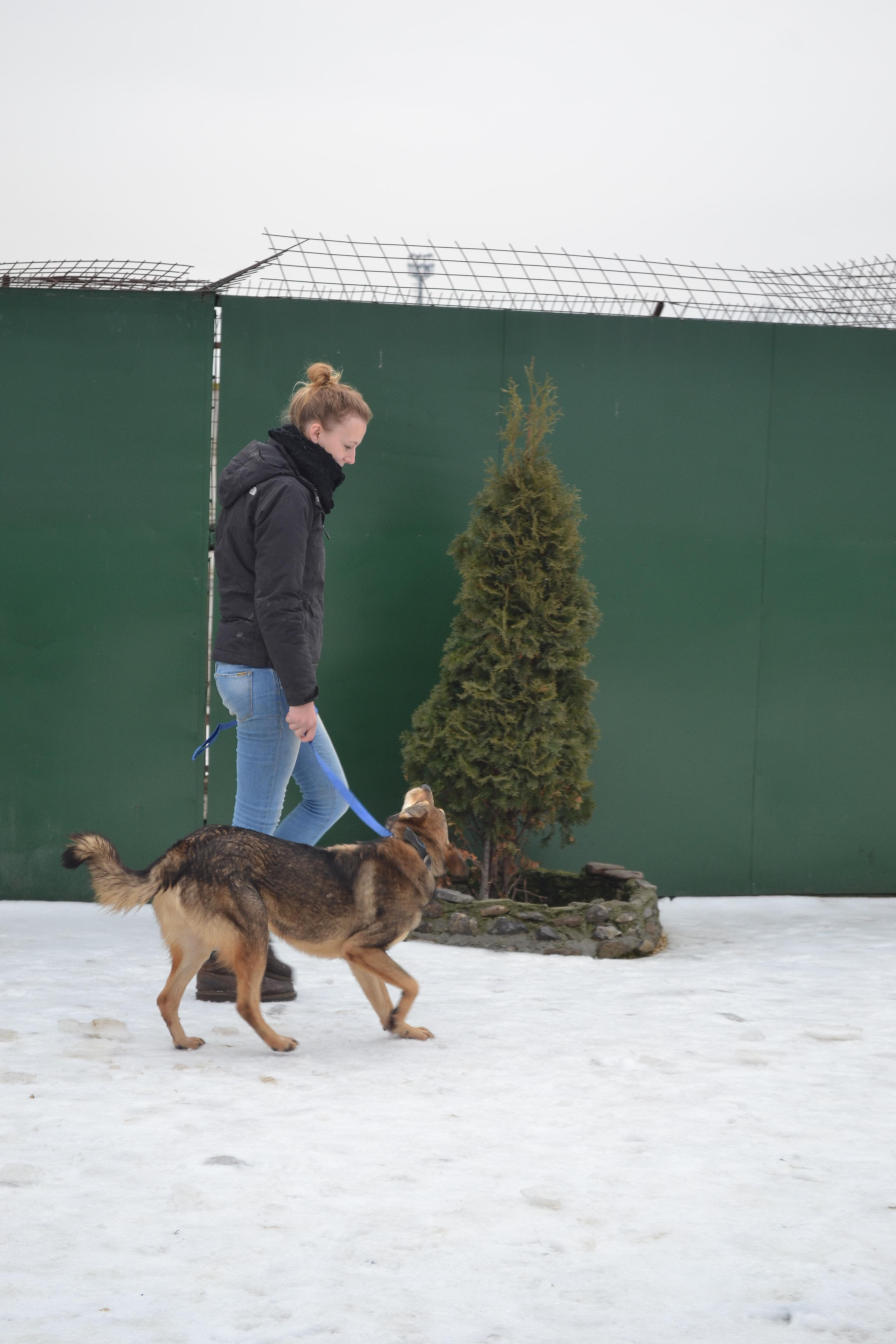 A volunteer working with animals in Romania, takes a dog out for daily exercise.